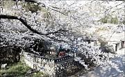 Du Lịch Hàn Quốc Khám Phá Lễ Hội Hoa Mơ Ở Kwangyang