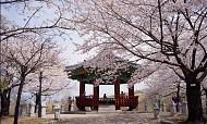Thưởng lãm hoa anh đào tại hai địa điểm hot nhất Hàn Quốc