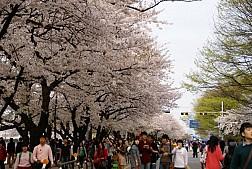 Tour Hàn Quốc 5 ngày ngắm Hoa Anh Đào 2016 Vietjet Air