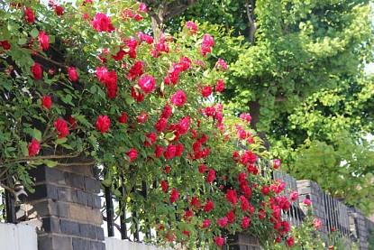 Tìm hiểu về lễ hội hoa hồng ở Hàn Quốc