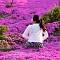 Hoa Đỗ Quyên nhuộm một màu tím mộng mơ các triền đồi ở Hàn Quốc