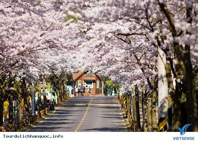 Thưởng lãm hoa anh đào tại hai địa điểm hot nhất Hàn Quốc - Ảnh 3
