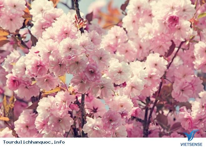 Hoa Anh Đào Hàn Quốc Nở Vào Tháng Mấy Và Tại Địa Điểm Nào - Ảnh 2