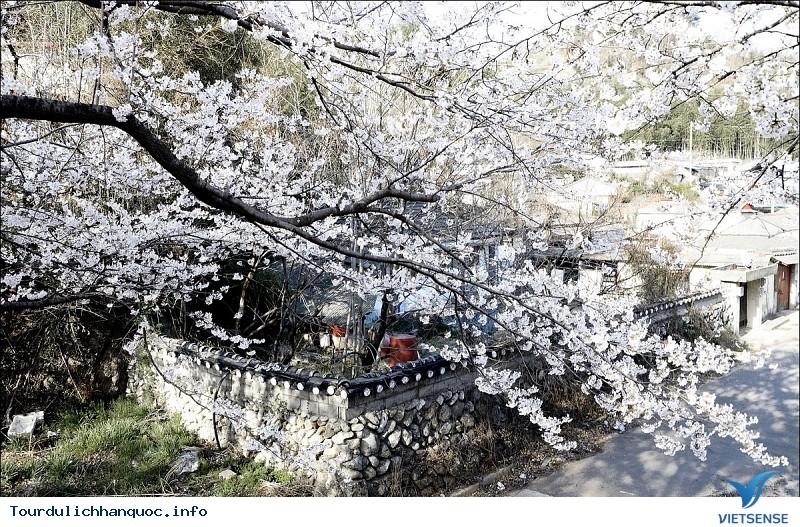 Khám Phá Lễ Hội Hoa Mơ Ở Kwangyang - Ảnh 3