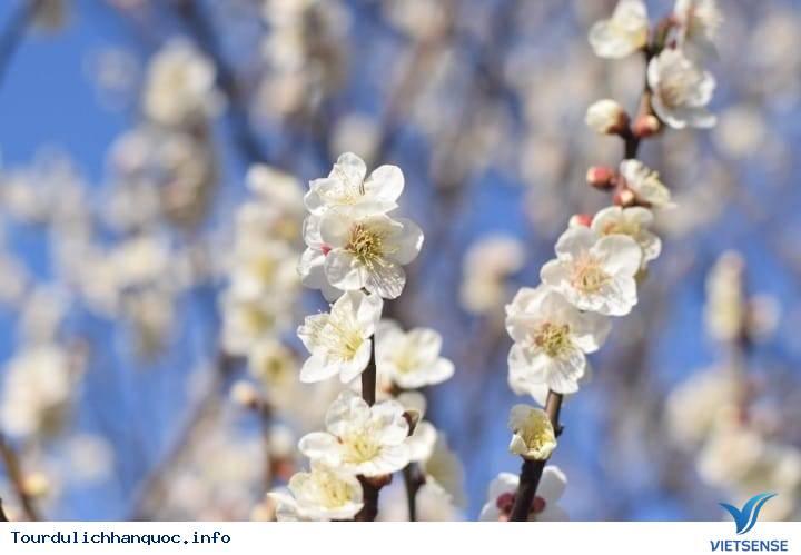 Khám Phá Lễ Hội Hoa Mơ Ở Kwangyang - Ảnh 1