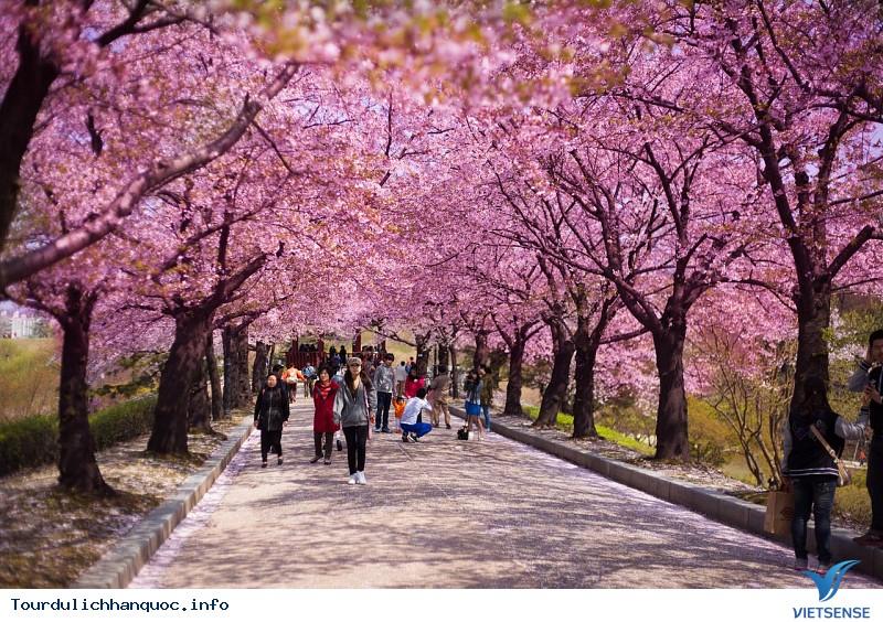 Khám Phá Những Lễ Hội Hoa Anh Đào Lớn Nhất Hàn Quốc - Ảnh 1