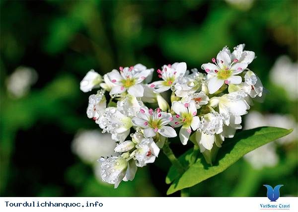 Lễ hội hoa kiều mạch - Ảnh 4