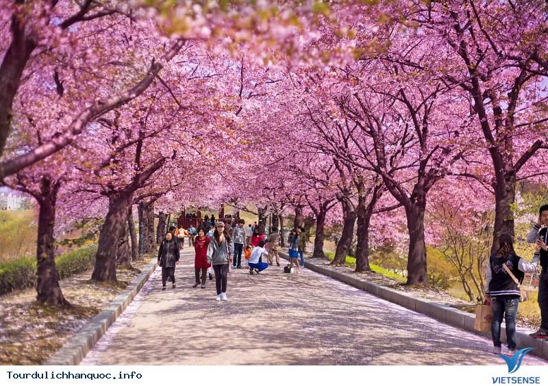 Mãn nhãn với Lễ hội hoa anh đào Jeju - Ảnh 4