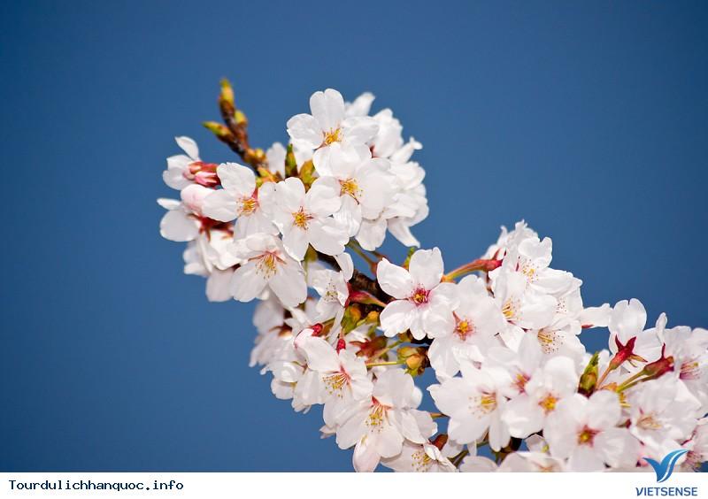 Mãn nhãn với Lễ hội hoa anh đào Jeju - Ảnh 5