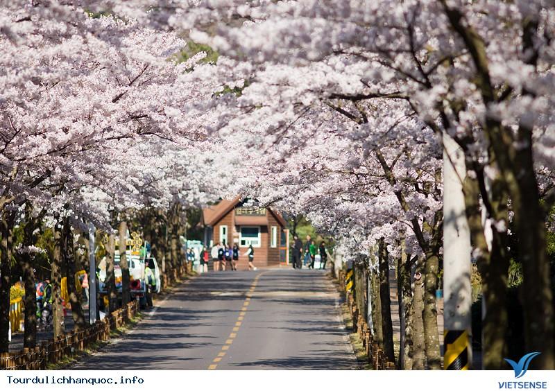 Mãn nhãn với Lễ hội hoa anh đào Jeju - Ảnh 2