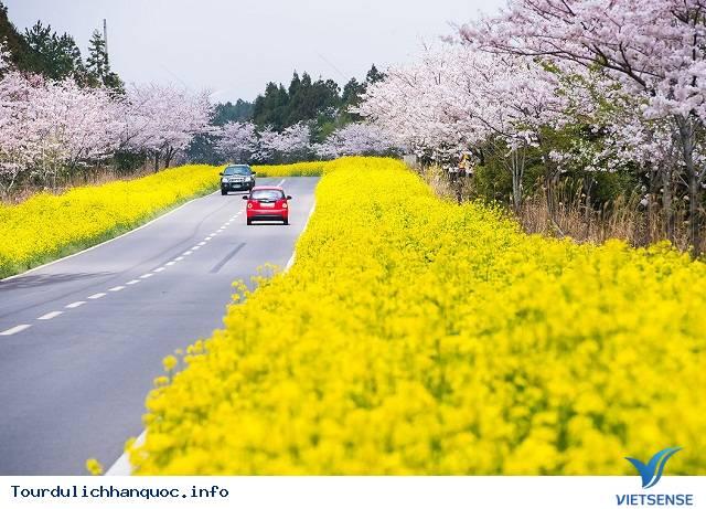 Mãn nhãn với Lễ hội hoa anh đào Jeju - Ảnh 1
