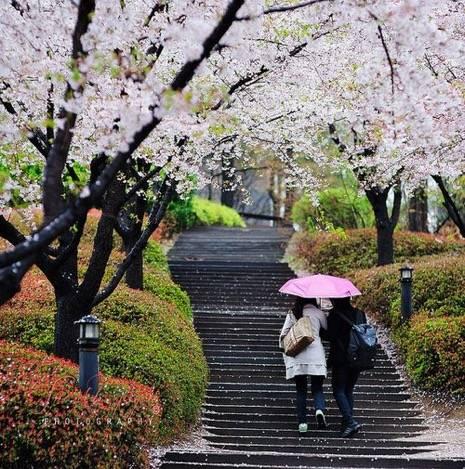20 địa điểm ngắm hoa anh đào đẹp ở Hàn Quốc - Ảnh 7