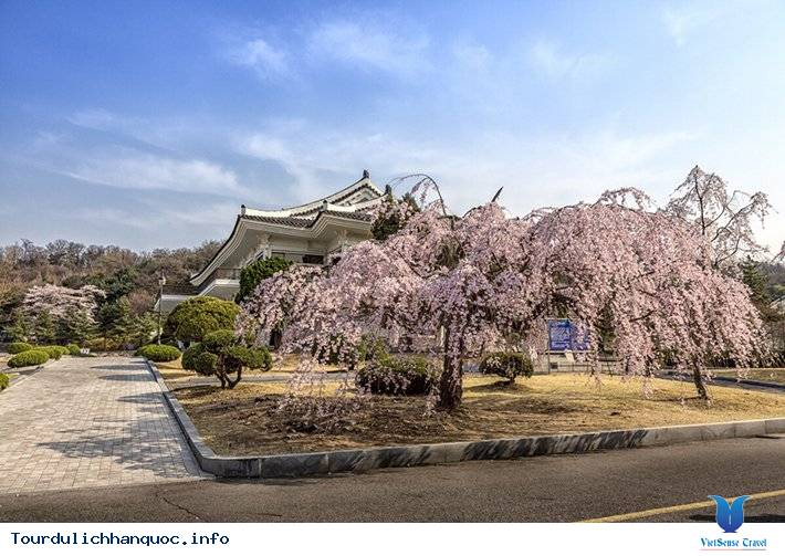 20 địa điểm ngắm hoa anh đào đẹp ở Hàn Quốc - Ảnh 9