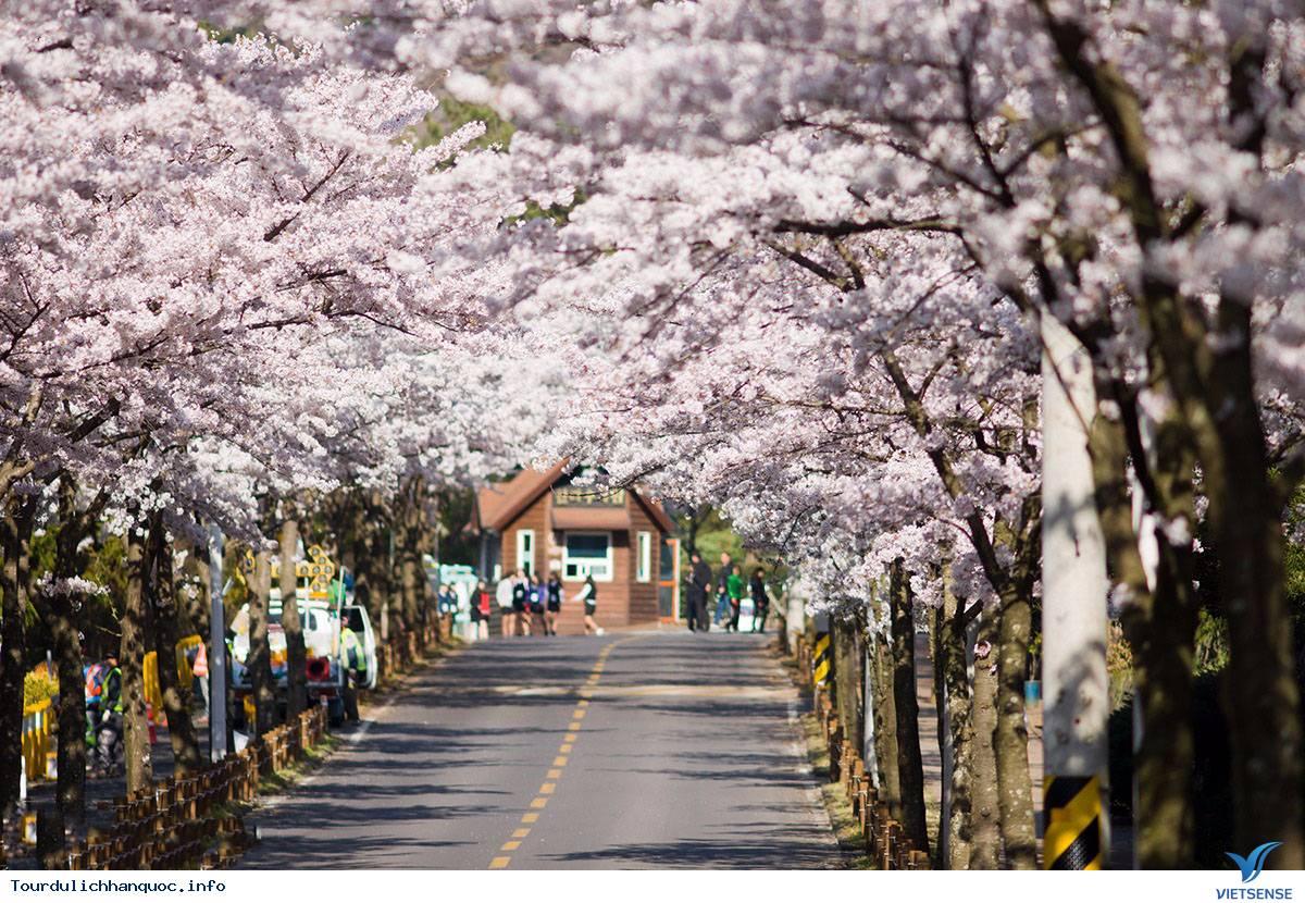 Hai Điểm Ngắm Hoa Anh Đào Tuyệt Đẹp Ở Hàn Quốc - Ảnh 2