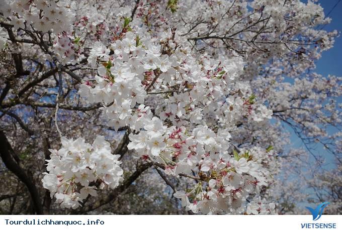 Hoa anh đào mãn khai ở cố đô Hàn Quốc - Ảnh 7