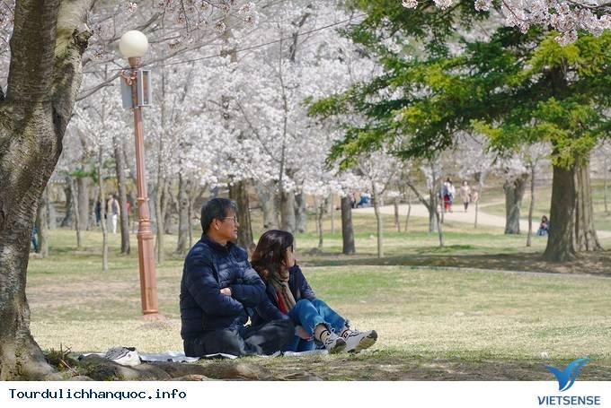 Hoa anh đào mãn khai ở cố đô Hàn Quốc - Ảnh 9