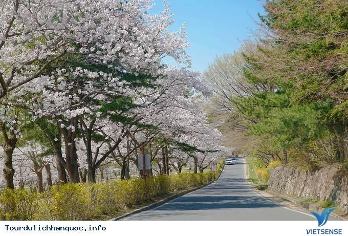 Hoa anh đào mãn khai ở cố đô Hàn Quốc - Ảnh 2