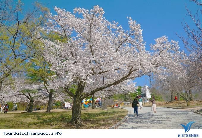 Hoa anh đào mãn khai ở cố đô Hàn Quốc - Ảnh 4