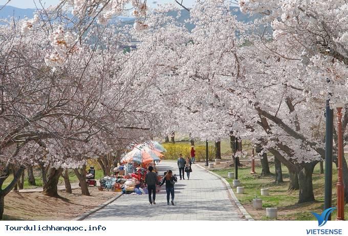Hoa anh đào mãn khai ở cố đô Hàn Quốc - Ảnh 8