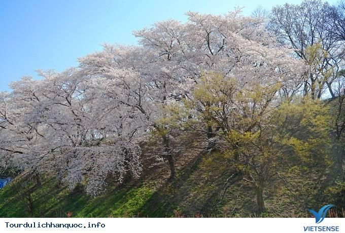 Hoa anh đào mãn khai ở cố đô Hàn Quốc - Ảnh 3