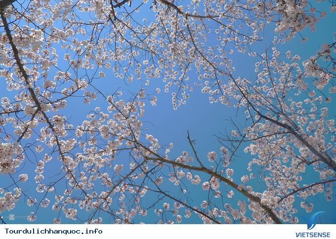 Hoa anh đào mãn khai ở cố đô Hàn Quốc - Ảnh 5