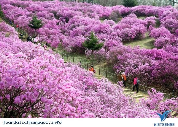 Hoa Đỗ Quyên nhuộm một màu tím mộng mơ các triền đồi ở Hàn Quốc - Ảnh 4
