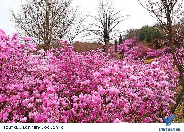 Hoa Đỗ Quyên nhuộm một màu tím mộng mơ các triền đồi ở Hàn Quốc - Ảnh 9