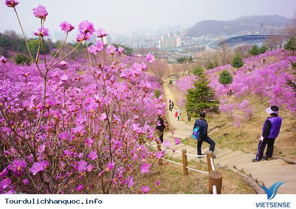 Hoa Đỗ Quyên nhuộm một màu tím mộng mơ các triền đồi ở Hàn Quốc - Ảnh 12