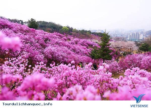 Hoa Đỗ Quyên nhuộm một màu tím mộng mơ các triền đồi ở Hàn Quốc - Ảnh 1