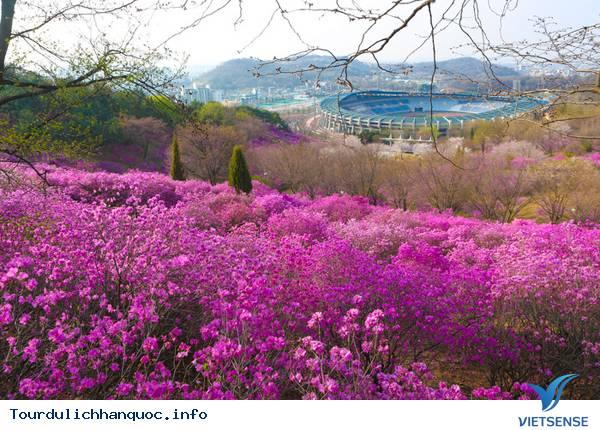 Hoa Đỗ Quyên nhuộm một màu tím mộng mơ các triền đồi ở Hàn Quốc - Ảnh 8