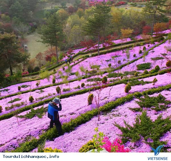 Hoa Đỗ Quyên nhuộm một màu tím mộng mơ các triền đồi ở Hàn Quốc - Ảnh 11