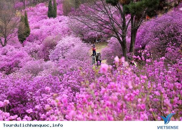 Hoa Đỗ Quyên nhuộm một màu tím mộng mơ các triền đồi ở Hàn Quốc - Ảnh 5