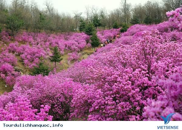 Hoa Đỗ Quyên nhuộm một màu tím mộng mơ các triền đồi ở Hàn Quốc - Ảnh 3