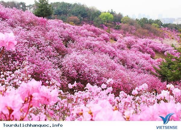 Hoa Đỗ Quyên nhuộm một màu tím mộng mơ các triền đồi ở Hàn Quốc - Ảnh 2