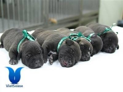 Nhà máy nhân bản chó tại Hàn Quốc