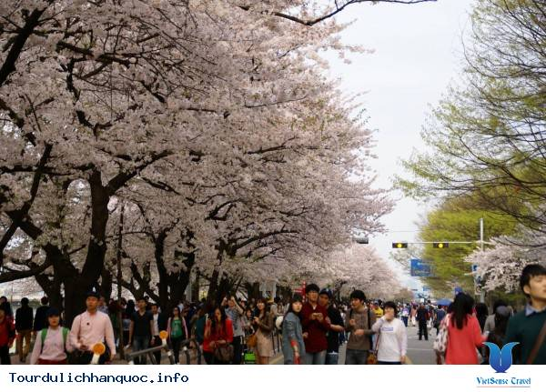 Những Lễ Hội Mùa Xuân Hấp Dẫn Ở Hàn Quốc 2015 - Ảnh 3