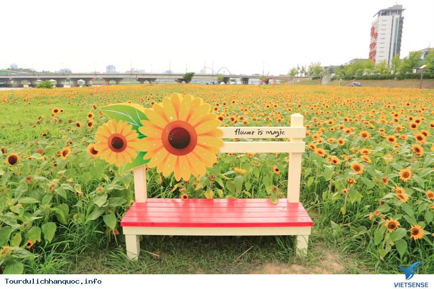 Rực rỡ sắc hoa hướng dương bạt ngàn ở Hàn Quốc - Ảnh 5