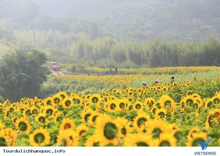 Rực rỡ sắc hoa hướng dương bạt ngàn ở Hàn Quốc - Ảnh 2