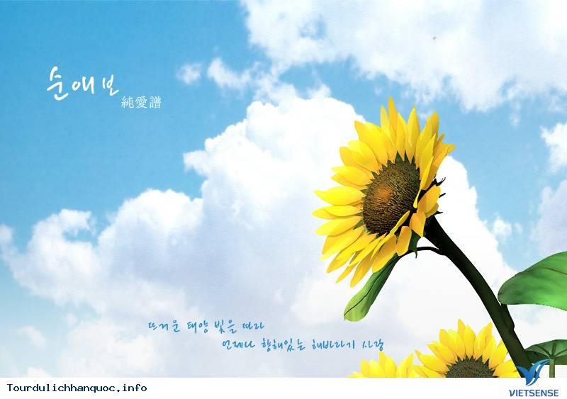 Rực rỡ sắc hoa hướng dương bạt ngàn ở Hàn Quốc - Ảnh 1