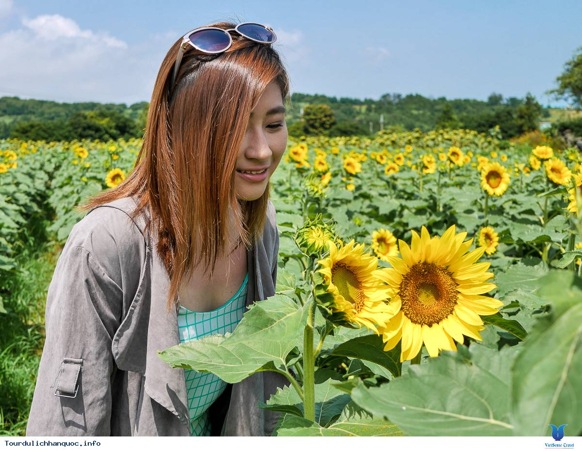 Rực rỡ sắc hoa hướng dương bạt ngàn ở Hàn Quốc - Ảnh 6