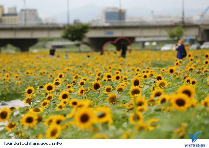 Rực rỡ sắc hoa hướng dương bạt ngàn ở Hàn Quốc - Ảnh 4