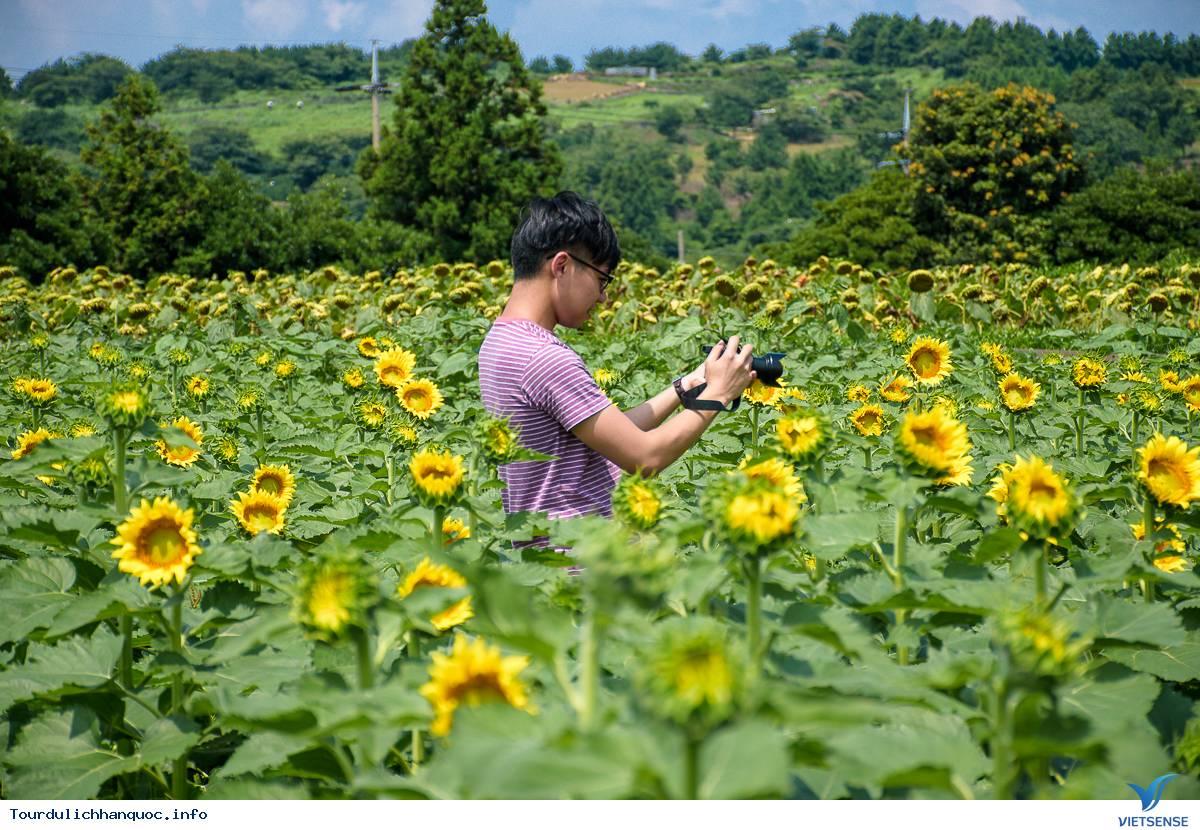 Rực rỡ sắc hoa hướng dương bạt ngàn ở Hàn Quốc - Ảnh 7