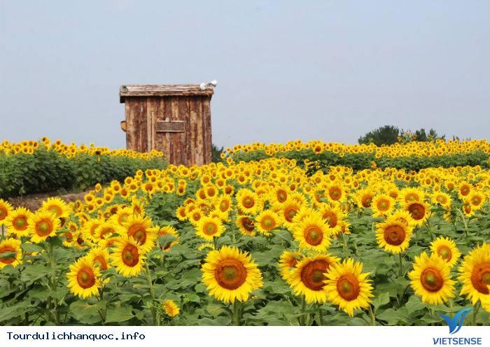 Rực rỡ sắc hoa hướng dương bạt ngàn ở Hàn Quốc - Ảnh 3