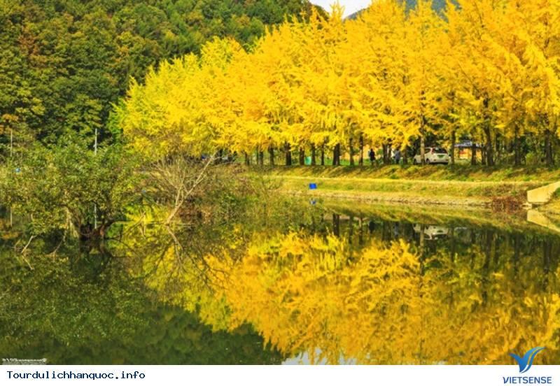 Thăm Con Đường Cây Ngân Hạnh Đẹp Ngỡ Ngàng Khi Tới Hàn Quốc - Ảnh 8