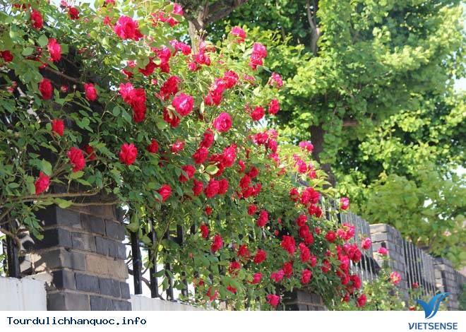 Tìm hiểu về lễ hội hoa hồng ở Hàn Quốc - Ảnh 3
